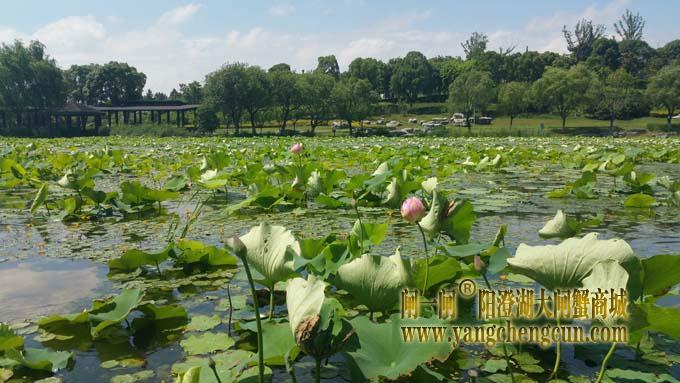 阳澄湖半岛六月天