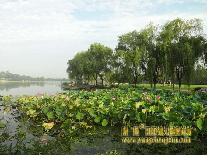 阳澄湖半岛之莲池避暑